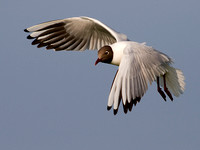 Black-headed Gull - 24