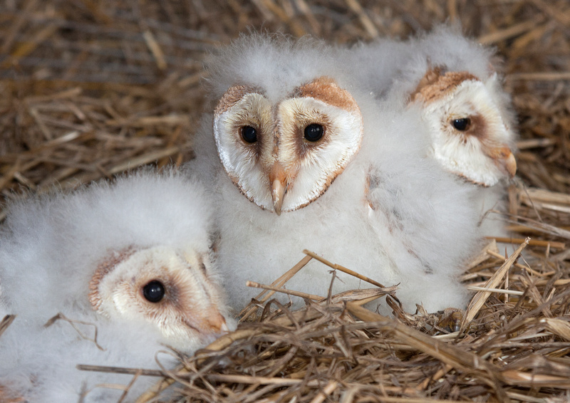 David Tolliday Photography | Birds | Baby Barn Owls
